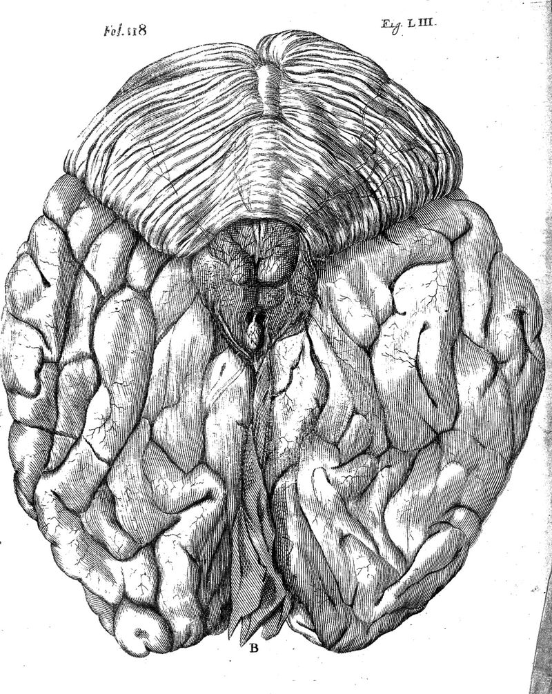 Descartes;_view_of_posterior_of_brain_Wellcome_L0008518