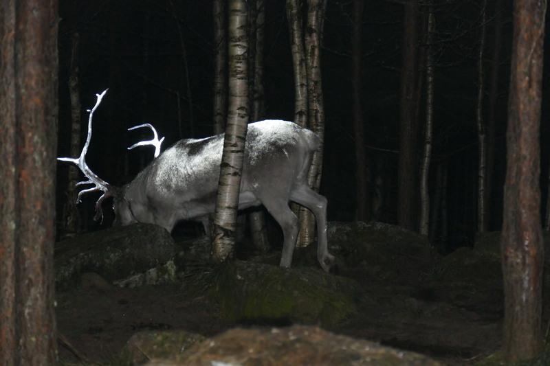 Finland_Reindeer