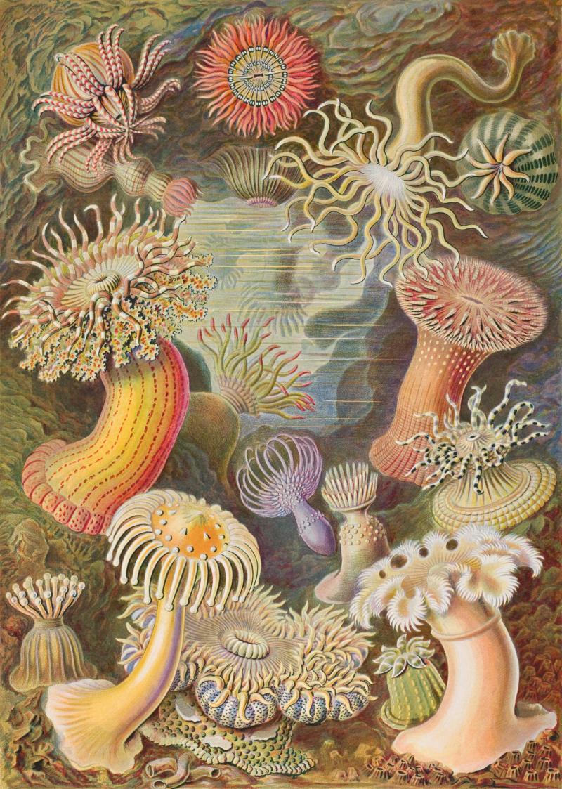 Haeckel_Actiniae_