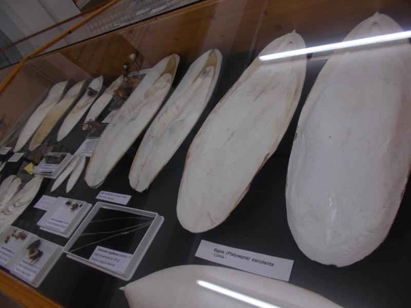 MuseoMalacologia_CupraMarittima_Part1_byAnnaBattista (46)