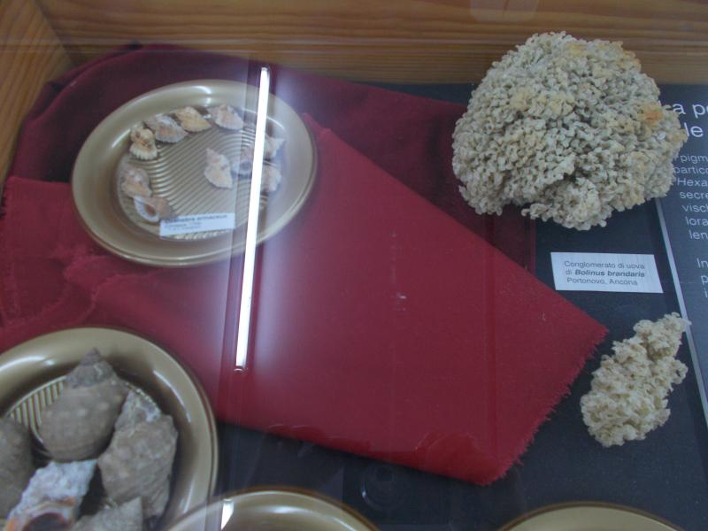 MuseoMalacologia_CupraMarittima_Part2_byAnnaBattista (51)