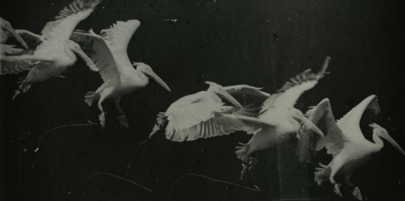 Marey_birds